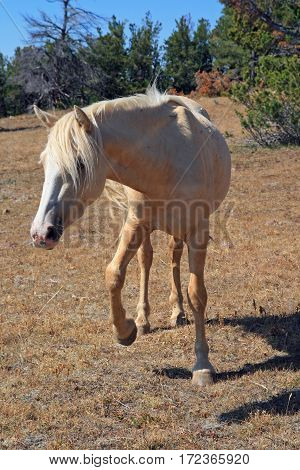 Wild Horse Mustang Palomino Mare on Tillett Ridge in the Pryor Mountains Wild Horse Range on the Wyoming Montana state line border U S A