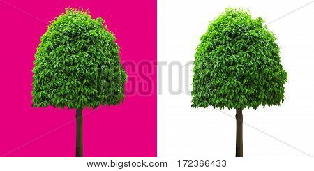cherry laurel deciduous tree isolated on white and magenta background for easy clipping