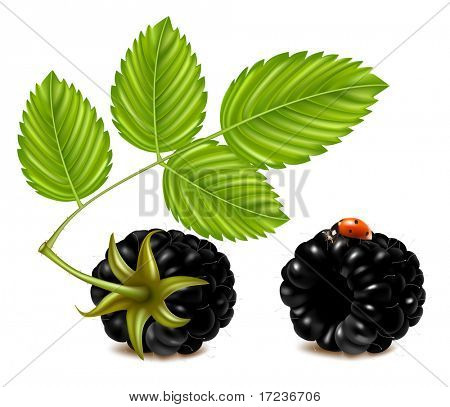 Vector illustration of ripe blackberries (dewberry) with green leaves and ladybird.