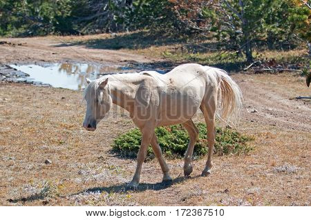 Wild Horse Mustang Palomino Mare on Tillett Ridge in the Pryor Mountains Wild Horse Range on the Wyoming Montana state line border USA