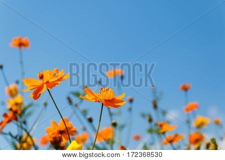close up orange cosmos flower on natural blue sky background