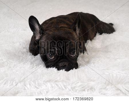 Black dog lying on white furry blanket