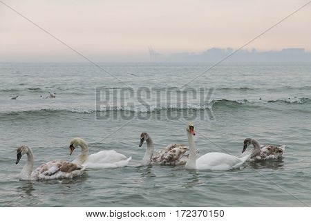 family of swans swimming in the Black Sea. Odessa