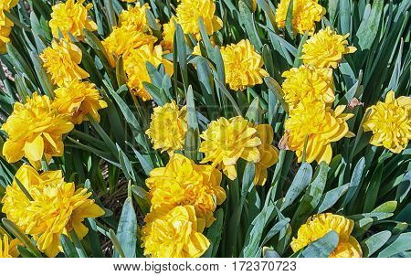 Flowering yellow daffodils in a field close-up.