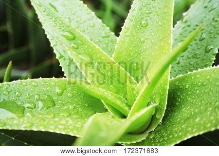 Aloe Vera Plant Close Up High Quality