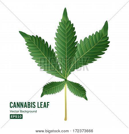Marijuana Leaf Vector. Green Hemp Cannabis Sativa or Cannabis Indica Marijuana Leaf Isolated On White Background. Medical Plant