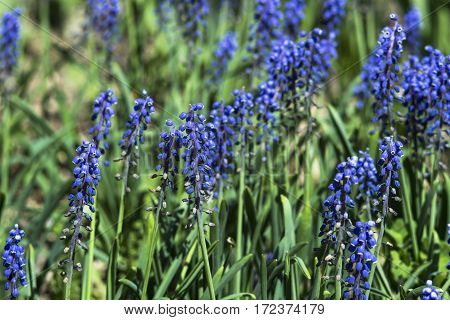 Wilted flower Muscari armeniacum. Summer days .