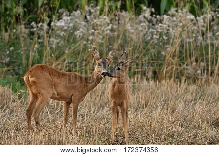 A roe and his deers in late summer in an intimate attitude