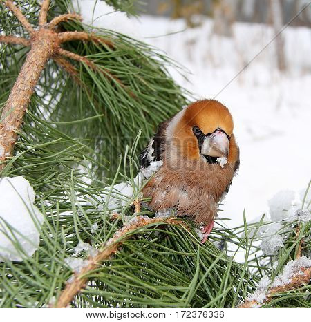 The grosbeak sits on a pine branch with green needles