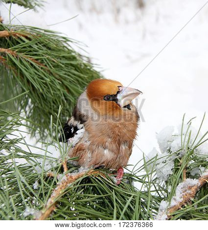 The bird a grosbeak sits on a pine branch with green needles