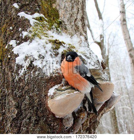 The bullfinch sits on a wood mushroom