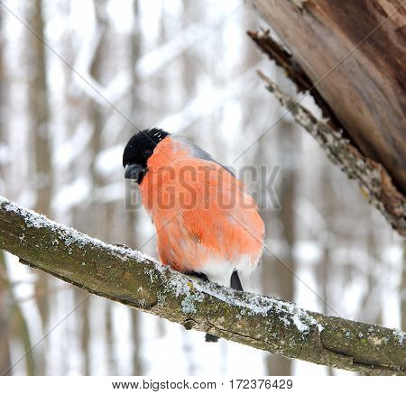 The bullfinch sits on a snow-covered branch