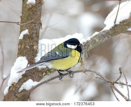 The titmouse sits on a branch in the winter wood