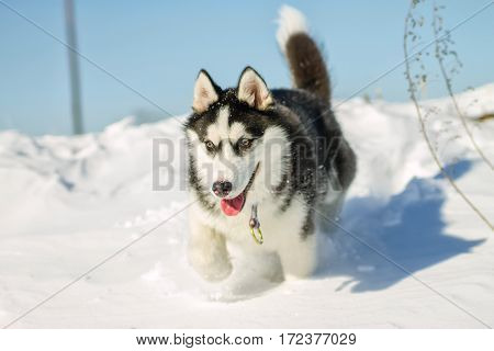 Husky Puppy Fun Running On The Snow Drifts