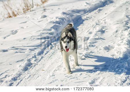 Husky Puppy Fun Running On The Snow Drifts