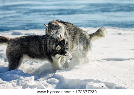 Two Huskies Schenkka Fun Playing In Snow Drifts