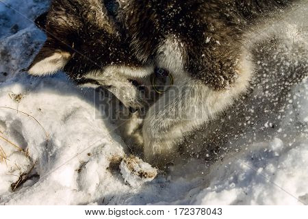 Puppy Husky Digs A Hole In The Snow Drifts