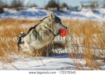 Husky Puppy Fun Playing In Snow Drifts Ball