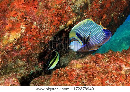 Emperor Angelfish. Tropical reef fish