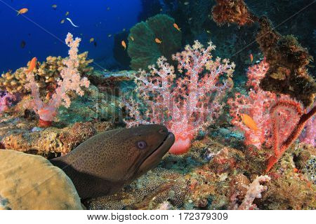Giant Moray Eel and coral reef