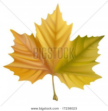 Vector. Yellow maple leaf.