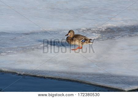 Mallard hen on a floe of melting ice, walking towards open water