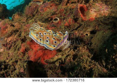 Sea slug nudibranch chromodoris
