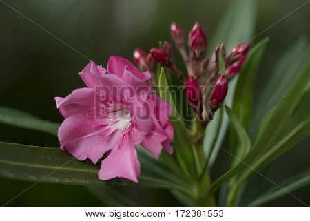 Beautiful Pink flower and green leaf as background