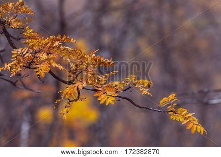 Colorful autumn, fall leaves in the taiga forest, close up rowan, mountain-ashes, Sorbus.