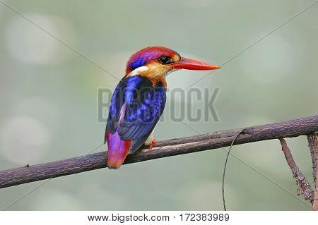 Oriental Dwarf Kingfisher Ceyx erithaca Cute Birds of Thailand