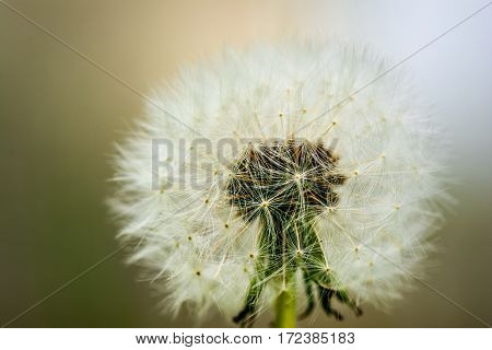 Macro shot of a dandelion. Who does not know the temptation to simply blow and watch as the seeds are carried away by the wind.