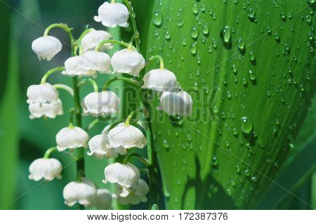 Forest lily of the valley flowers in water drops