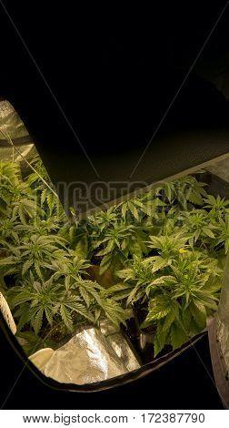 INDOOR MEDICAL MARIHUANA GROW BACKGROUND HOME PLANT
