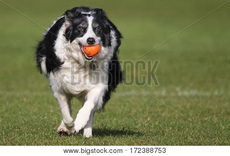 Boarder Collie dog runnig with ball in mouth