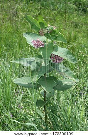 Flowering milkweed plant. Milkweed flowers bloom from June to August,