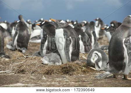 Colony of Gentoo penguins at Volunteer Point Falkland Islands