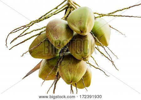 Bunch of young coconuts on tree isolate white background with clippingpath.