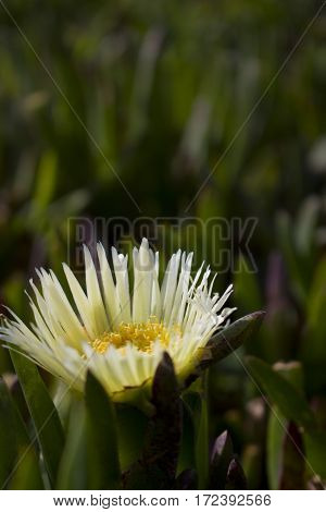 A close-up of an Ice Plant flower.