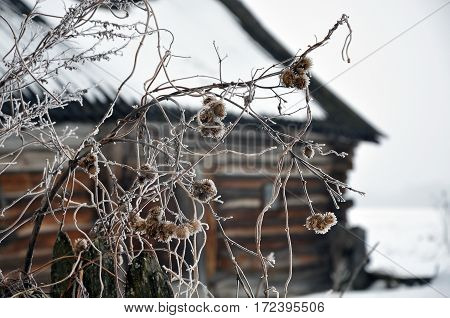 Dry burdock prickles in the winter close-up on a background of the village.