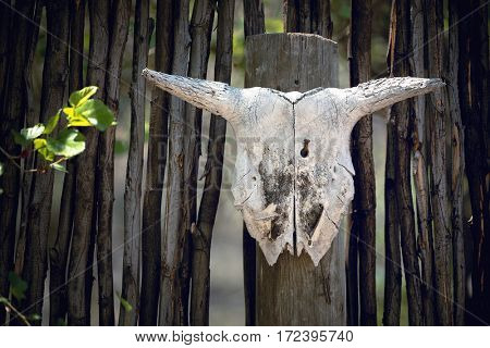 Animal skull nailed to a rustic fence in South Africa.