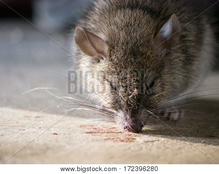 Rat Being Dying.