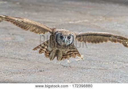 Eurasian Eagle Owl In Flight During  A Raptor Show