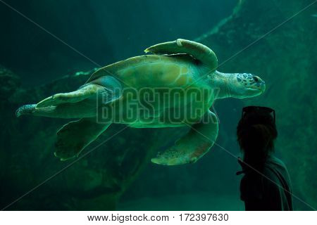 MADRID, SPAIN - JULY 6, 2016: Visitor looks as the loggerhead sea turtle (Caretta caretta), also known as the loggerhead swimming in Madrid Aquarium, Spain.