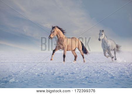 Buckskin stallion and white stallion run on snow in winter