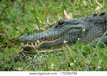 a North American Alligator lounging around in the Florida Everglades