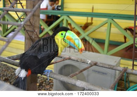 A perched keel-billed toucan with a broken beak