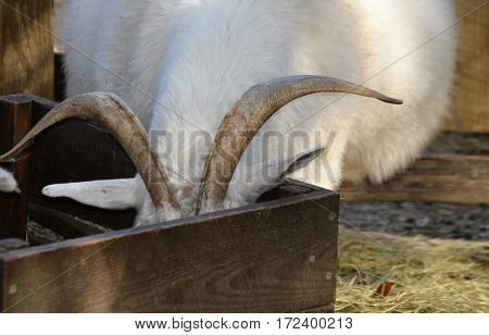 white cashmere goat visible horns face in feeding trough