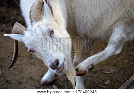 white cashmere goat with tilted head scratching beard