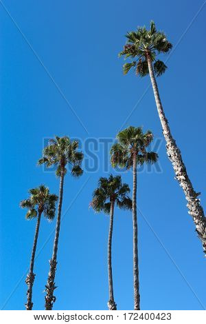 Five tall, thin palm trees against a blue sky, copy space.
