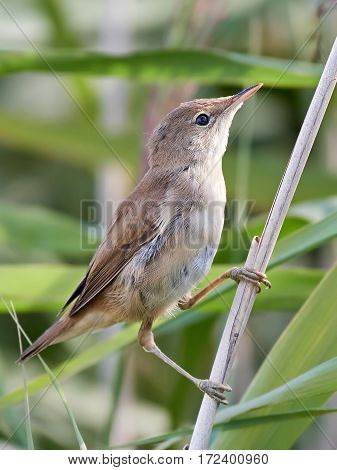 Eurasian reed warbler resting on a branch in its habitat